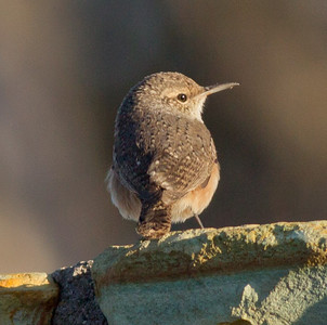 Rock Wren  Mammoth Lakes 2011 09 14-2.CR2