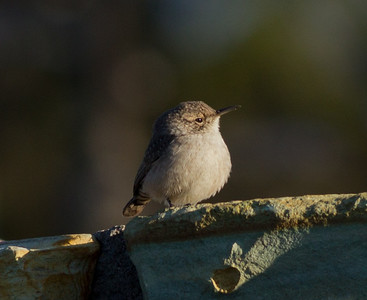 Rock Wren  Mammoth Lakes 2011 09 14-1.CR2
