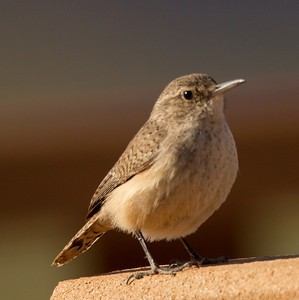 Rock Wren    Cibola NWR 2014 02 01-1.CR2