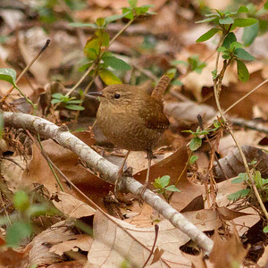 Winter Wren 2