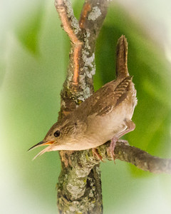 House Wren Sounding Off