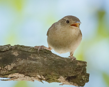 House Wren Singing