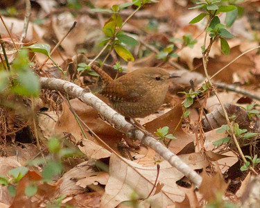 Winter Wren 3
