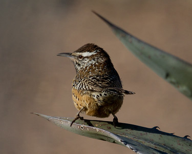 Cacus Wren from Behind