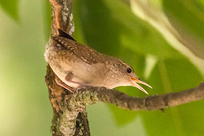 Scrappy Little House Wren 2