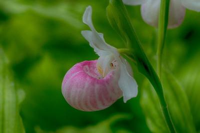 Flower Lady Slipper Arboretum