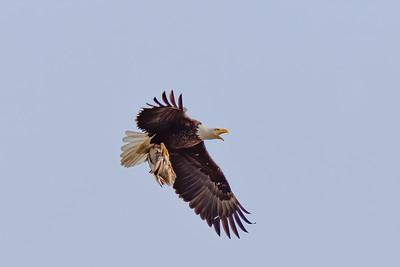 Eagle 2 Malard