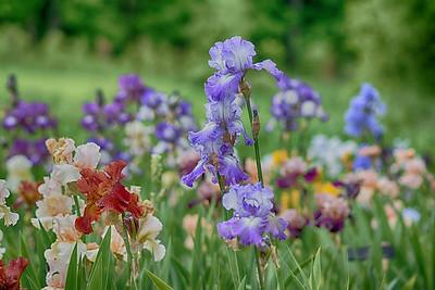 Iris 10 Arboretum