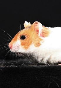 Djurfotografering, katt , hamster, kanin