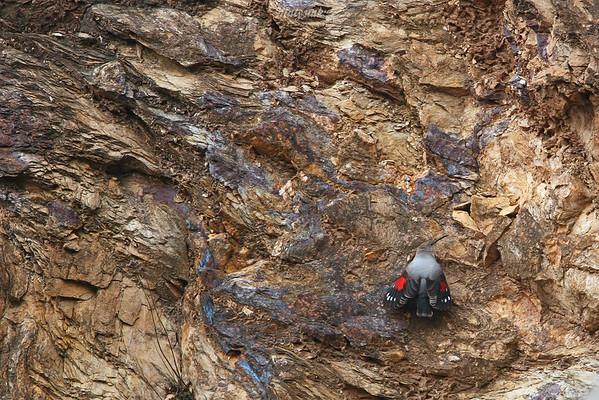 Pomurnik (Tichodroma muraria) 13.-14.11.2008, Góry Kaczawskie ©Mateusz Matysiak