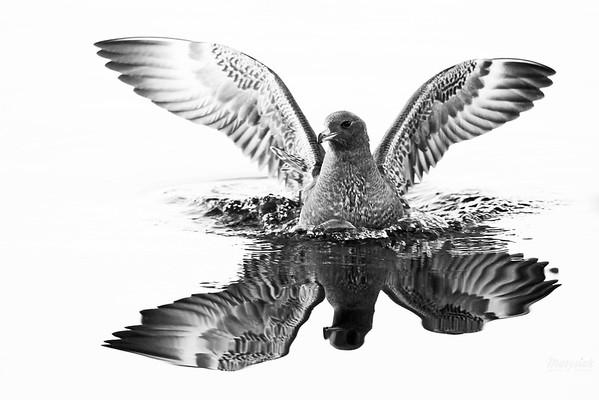 Młody wydrzyk tęposterny (Stercorarius pomarinus) 14.11.2010, Bondary (gm. Michałowo, pow. białostocki), Zbiornik Siemianówka ©Mateusz Matysiak