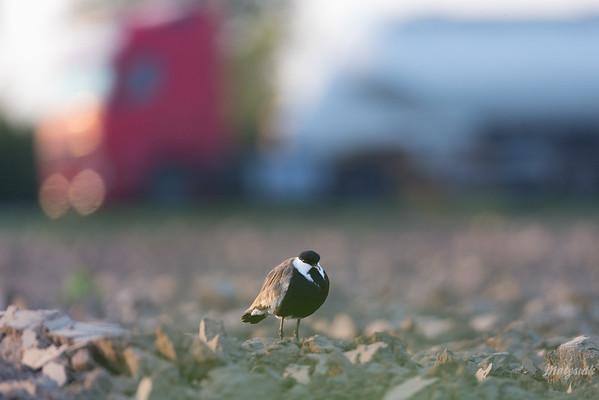 Czajka szponiasta (Vanellus spinosus) Strzelno, pow. mogileński, woj. kujawsko-pomorskie; 27.09.2017 ©Mateusz Matysiak