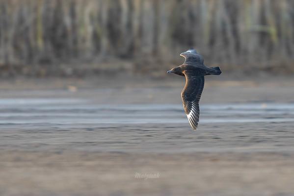 Juwenalny wydrzyk wielki, skua (Stercorarius skua) 04.11.2017, Stawy Rudzkie k. Mińska Maz. ©Mateusz Matysiak