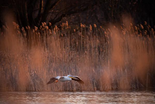 Młodociany pelikan różowy (Pelecanus onocrotalus) Stawy Raszyńskie (pow. pruszkowski); 06.04.2018 ©Mateusz Matysiak