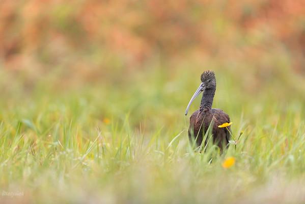 Ibis kasztanowaty (Plegadis falcinellus) żerujący na podmokłej łące 12.11.2020; dolina Pisi Tucznej, Kaski (gm. Baranów, pow. grodziski, woj. mazowieckie) ©Mateusz Matysiak