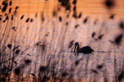 Żerujący pelikan różowy (Pelecanus onocrotalus) Stawy Raszyńskie (pow. pruszkowski); 06.04.2018 ©Mateusz Matysiak