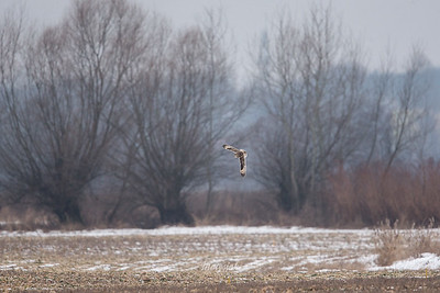 Sowa błotna, uszatka błotna (Asio flammeus) ©Mateusz Matysiak