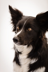 Wyn (Border Collie)-4