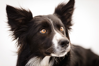 Wyn (Border Collie)-11