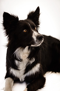 Wyn (Border Collie)-13