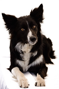Wyn (Border Collie)-20