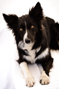 Wyn (Border Collie)-16