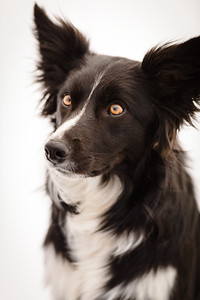 Wyn (Border Collie)-3