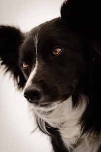 Wyn (Border Collie)-6