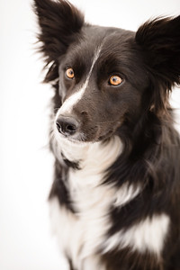 Wyn (Border Collie)-1
