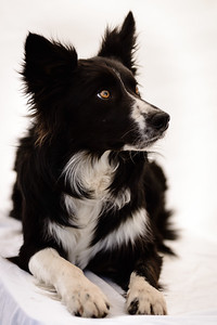 Wyn (Border Collie)-18