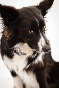 Wyn (Border Collie)-9