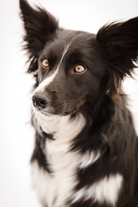 Wyn (Border Collie)-2