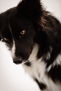 Wyn (Border Collie)-7