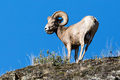 BIG HORN RAM    BISON WILDLIFE REFUGE   MONTANA