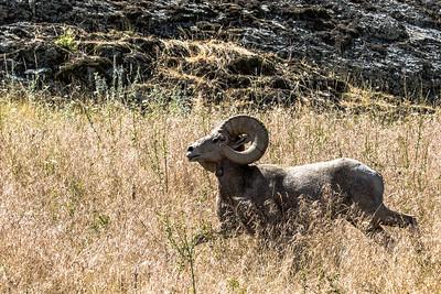 Big Horn Ram - Western Montana-0074