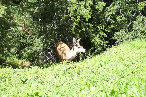 Deer in Yellowstone