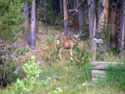 Shaky shot of a deer.  Still learning my camera.  Did not have the correct settings.  O well : )