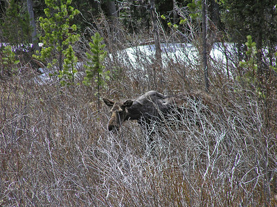 Zoom a lot.  Tried to spot a new born calf, but no luck.  Still, moose are always fun to see.
