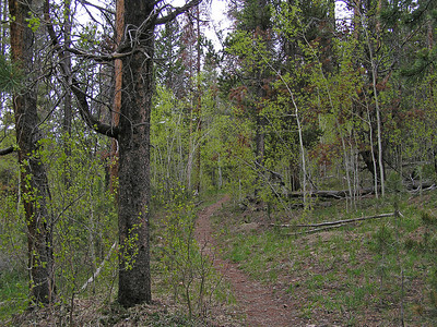 Some more aspens getting their leaves going.