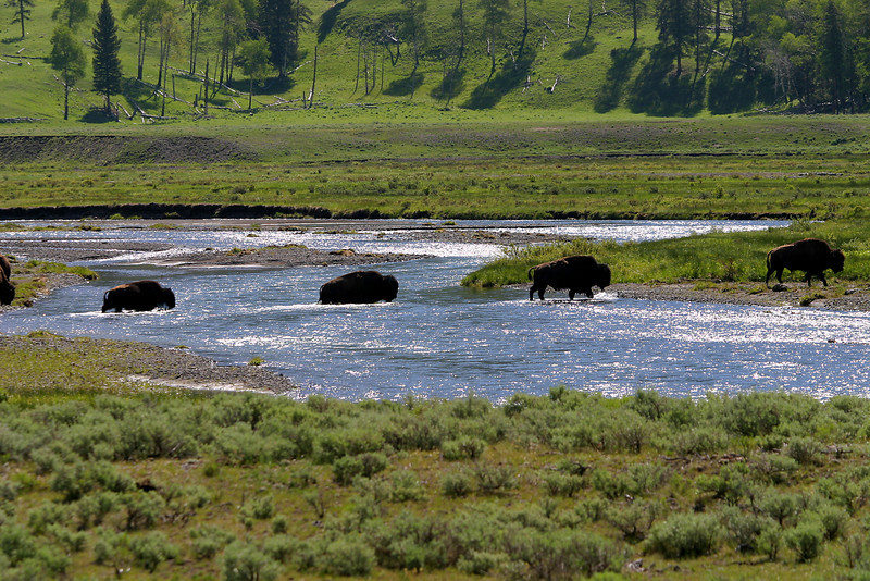 Bison crossing Lamar River, Yellowstone National Park