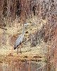 Great Blue Heron - Sweetwater River