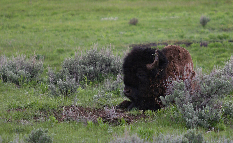 Bison bull, Lamar Valley, Yellowstone National Park