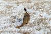 Rooster pheasant - Ocean Lake, Kinnear, WY