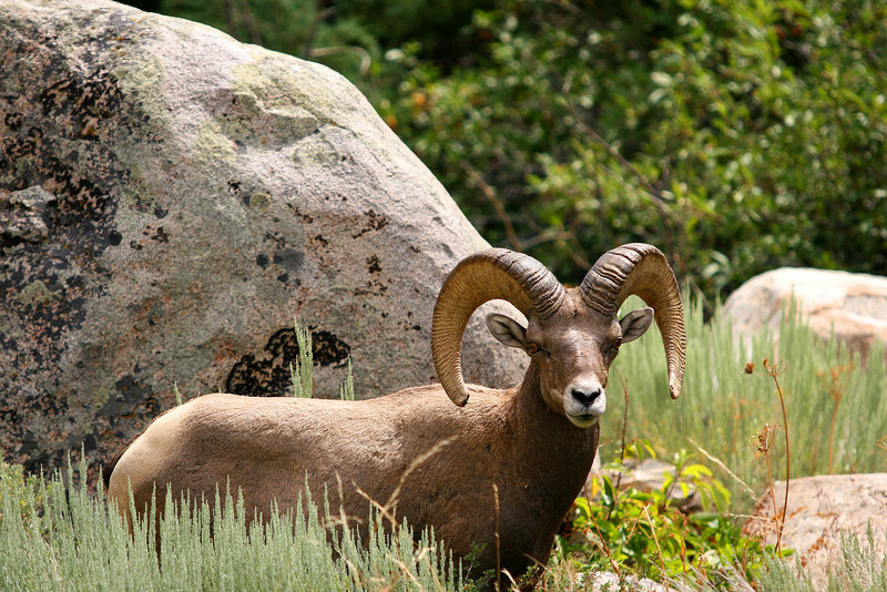 Bighorn Ram in Sinks Canyon State Park, Lander, WY