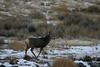 Mule deer buck, Lander, WY