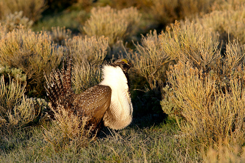 Male Sage grouse strutting