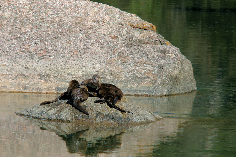 River Otters - Lamar River - Yellowstone National Park