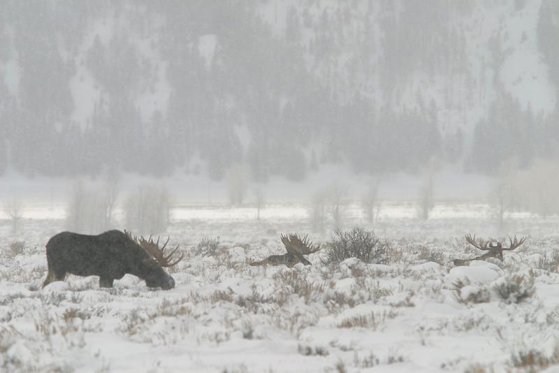 Bull moose in winter - Grand Teton National Park