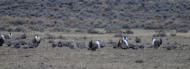 Twin Creek Sage Grouse Lek near Lander, WY