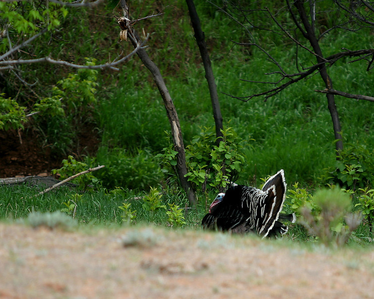 Rio Grande Wild Turkey - Bates Creek near Casper, WY